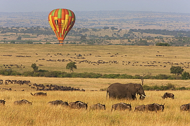 Blue Wildebeest (Connochaetes taurinus) herd and African Elephant (Loxodonta africana) and hot air balloon, Masai Mara, Kenya