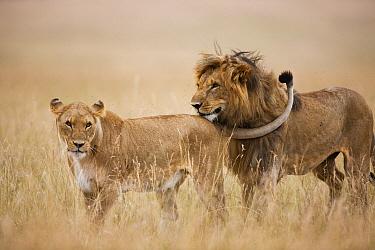 African Lion (Panthera leo) pair courting, Masai Mara, Kenya