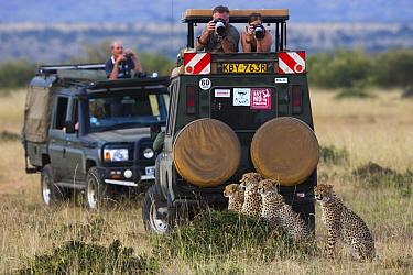 Cheetah (Acinonyx jubatus) family and safari vehicles, Masai Mara, Kenya