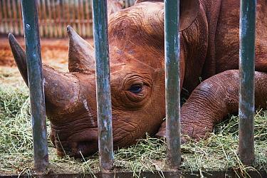 Black Rhinoceros (Diceros bicornis) behind bars, David Sheldrick Wildlife Trust, Nairobi, Kenya