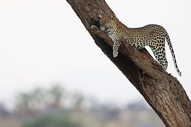 Leopard (Panthera pardus) in tree, Samburu National Park, Kenya