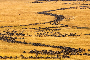 Blue Wildebeest (Connochaetes taurinus) herd migrating through savanna, Masai Mara, Kenya