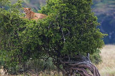 African Lion (Panthera leo) female in tree, Lake Nakuru National Park, Kenya