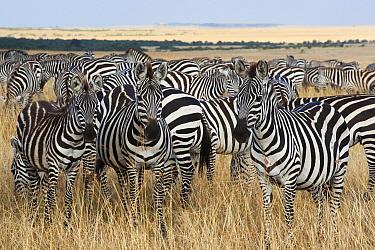 Burchell's Zebra (Equus burchellii) herd in savanna, Masai Mara, Kenya