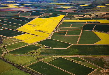 Oil Seed Rape (Brassica napus) fields, Liverpool Plains, New South Wales, Australia