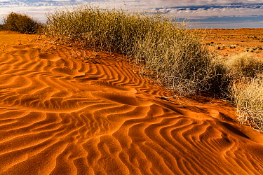 Spinifex Grass (Spinifex sp) on sand dune with footprints, Simpson Desert, Northern Territory, Australia