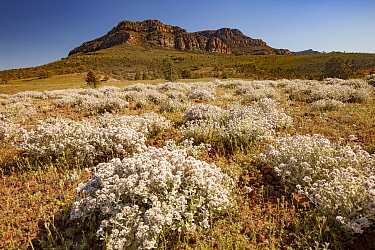 Wildflowers and sandstone rock formation, Flinders Ranges, South Australia, Australia