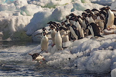 Adelie Penguin (Pygoscelis adeliae) group entering water, Possession Islands, Antarctica
