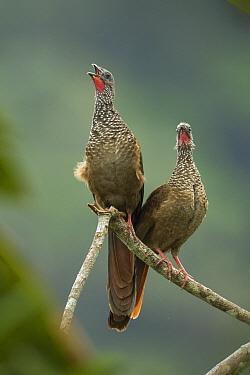 Speckled Chachalaca (Ortalis guttata) pair calling, Peru