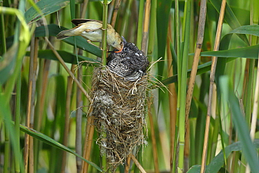 Common Cuckoo (Cuculus canorus) chick being fed by Eurasian Reed-Warbler (Acrocephalus scirpaceus), Saxony-Anhalt, Germany