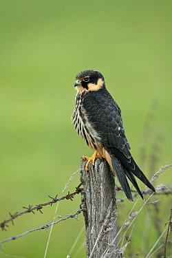 Eurasian Hobby (Falco subbuteo) juvenile, Lower Saxony, Germany