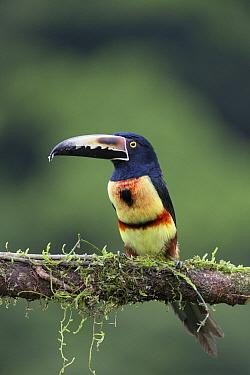 Collared Aracari (Pteroglossus torquatus), Costa Rica
