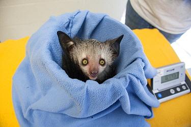 Aye-aye (Daubentonia madagascariensis) three month old baby on scale, Duke Lemur Center, North Carolina