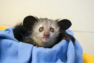 Aye-aye (Daubentonia madagascariensis) three month old baby, Duke Lemur Center, North Carolina