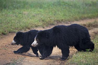 Sloth Bear (Melursus ursinus) mother and yearling cub, Satpura National Park, India