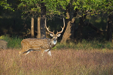 Chital (Axis axis) buck, Satpura National Park, India