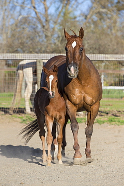 Domestic Horse (Equus caballus) mother and foal, Sonoma County, California