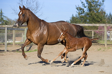 Domestic Horse (Equus caballus) mother and foal running, Sonoma County, California