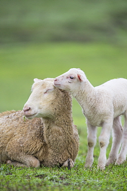 Domestic Sheep (Ovis aries) lamb nuzzling mother, Sonoma County, California