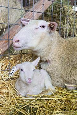 Domestic Sheep (Ovis aries) ewe and newborn lamb inside barn, Sonoma County, California