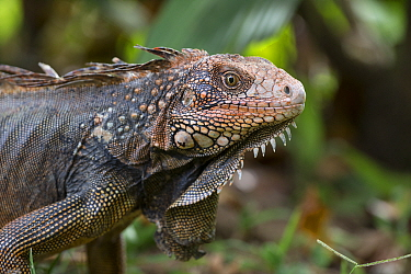Green Iguana (Iguana iguana), Osa Peninsula, Costa Rica