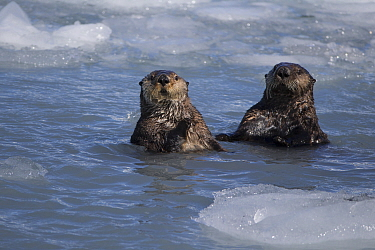 Sea Otter (Enhydra lutris) pair in icy water, Prince William Sound, Alaska