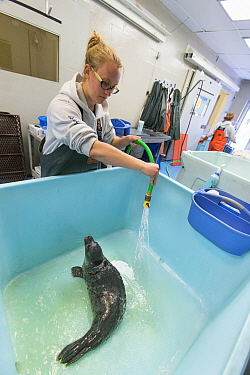 Harbor Seal (Phoca vitulina) orphaned pup and caretaker, Alaska SeaLife Center, Alaska