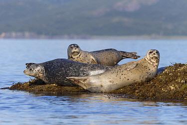 Harbor Seal (Phoca vitulina) group, Katmai National Park, Alaska
