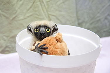 Coquerel's Sifaka (Propithecus coquereli) young clinging to toy while being weighed, Duke Lemur Center, North Carolina