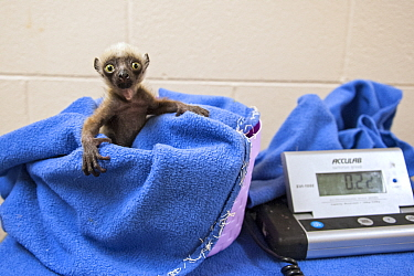 Coquerel's Sifaka (Propithecus coquereli) newborn on scale, Duke Lemur Center, North Carolina