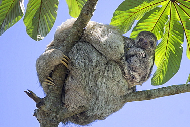 Brown-throated Three-toed Sloth (Bradypus variegatus) mother and baby, Costa Rica