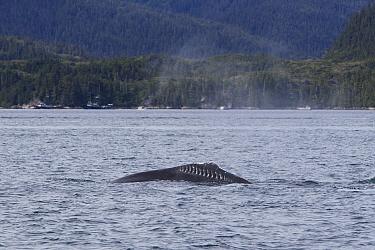 Humpback Whale (Megaptera novaeangliae) with rake marks from orca attack, Prince William Sound, Alaska