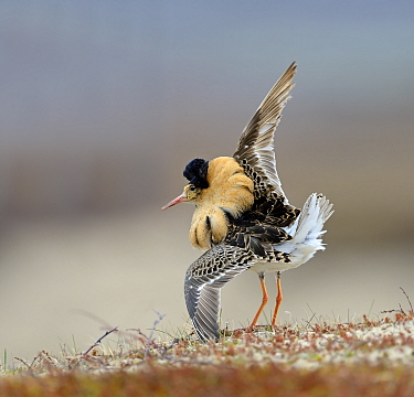 Ruff (Philomachus pugnax) male displaying at lek, Varanger Peninsula, Norway