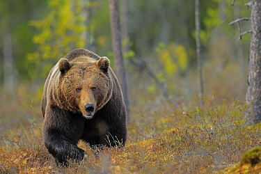 Brown Bear (Ursus arctos) male in bog, Finland