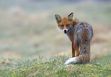 Red Fox (Vulpes vulpes), Varanger Peninsula, Norway
