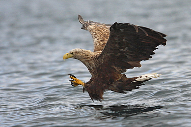 White-tailed Eagle (Haliaeetus albicilla) fishing, Norway