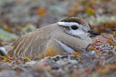 Eurasian Dotterel (Charadrius morinellus) male, Varanger Peninsula, Norway