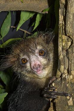 Aye-aye (Daubentonia madagascariensis), Duke Lemur Center, North Carolina