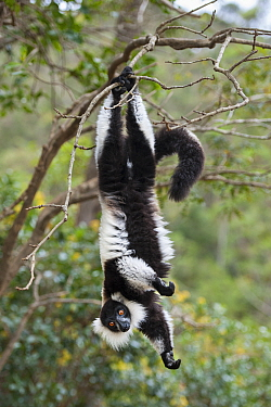 Black And White Ruffed Lemur (Varecia variegata variegata) hanging, Madagascar
