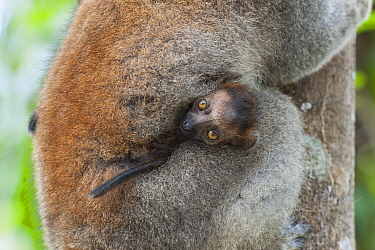 Crowned Lemur (Eulemur coronatus) mother with young, Madagascar