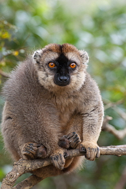Common Brown Lemur (Eulemur fulvus), Madagascar