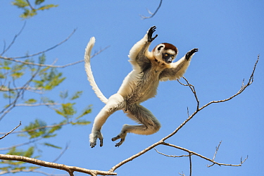 Verreaux's Sifaka (Propithecus verreauxi) leaping, Berenty Private Reserve, Madagascar
