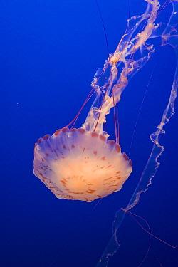 Purple-striped Jellyfish (Chrysaora colorata), California