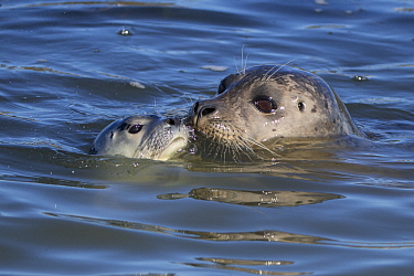 Harbor Seal (Phoca vitulina) mother and pup nuzzling, Monterey Bay, California