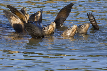 California Sea Lion (Zalophus californianus) group raising flippers to thermoregulate, Monterey Bay, California