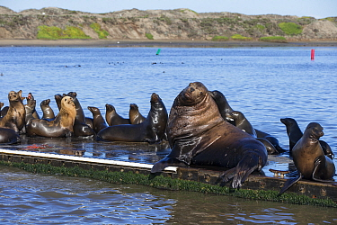 Steller's Sea Lion (Eumetopias jubatus) bull hauled out with California Sea Lions (Zalophus californianus), Moss Landing, California