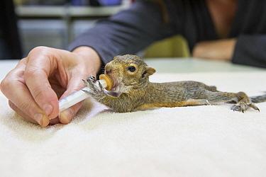 Western Gray Squirrel (Sciurus griseus) five week old orphaned young drinking mild, WildCare, San Rafael, California