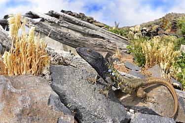 Northern Tenerife Lizard (Gallotia galloti eisentrauti) male on rocks, Canary Islands, Spain