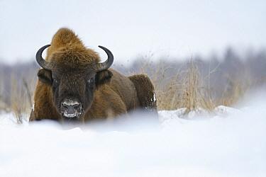 European Bison (Bison bonasus) in winter, Bialowieza Primaeval Forest, Poland