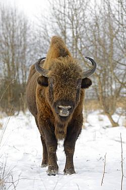 European Bison (Bison bonasus) male in winter, Bialowieza Primaeval Forest, Poland